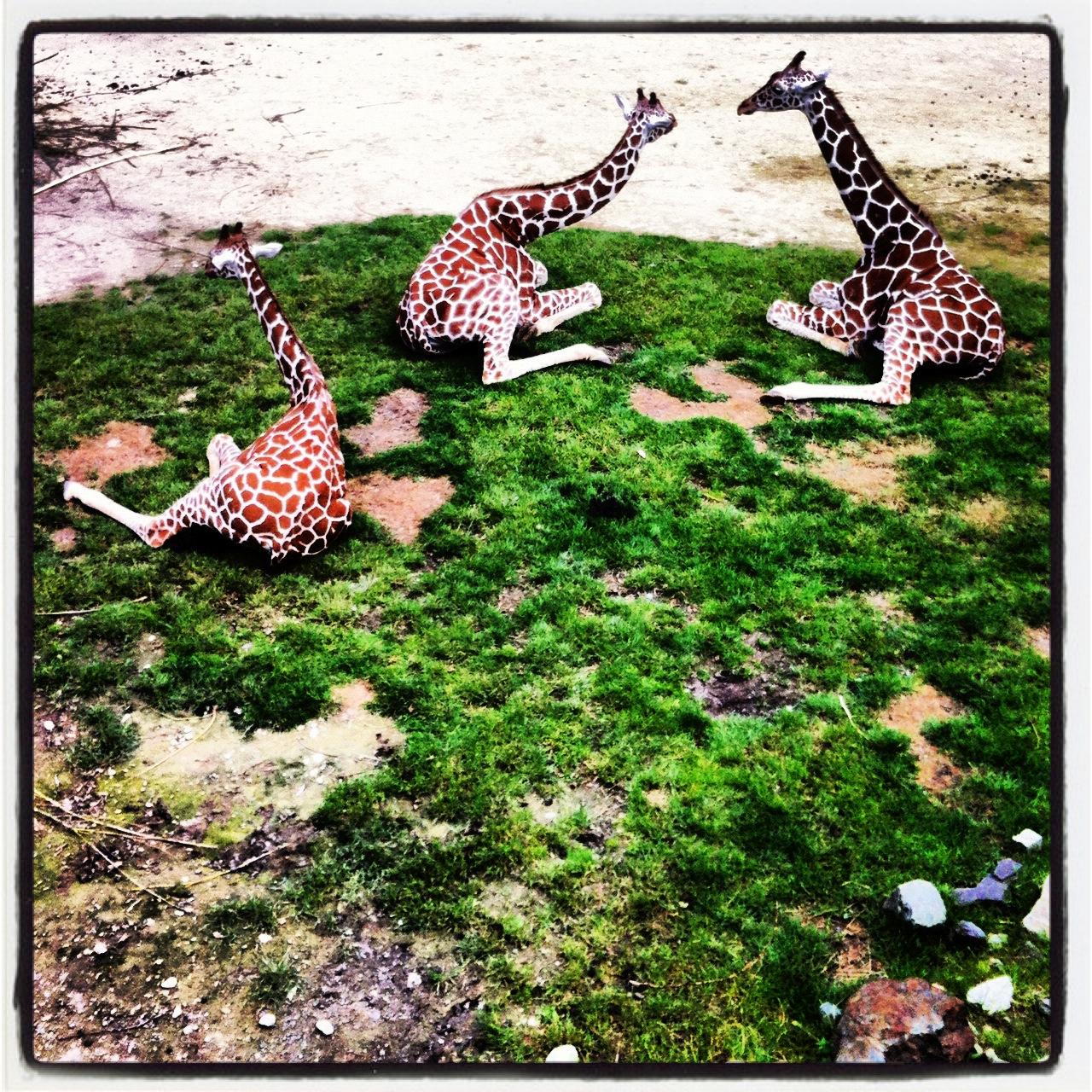 zittende giraffen